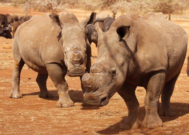 Rinocerontes en el Parque Nacional Kruger, en Sudáfrica