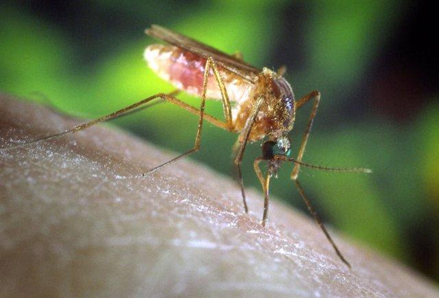 - UNDATED PHOTO - A Culex Quinquefasciatus Mosquito