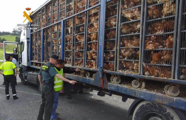 Camión que transportaba la 8.000 gallinas hacinadas