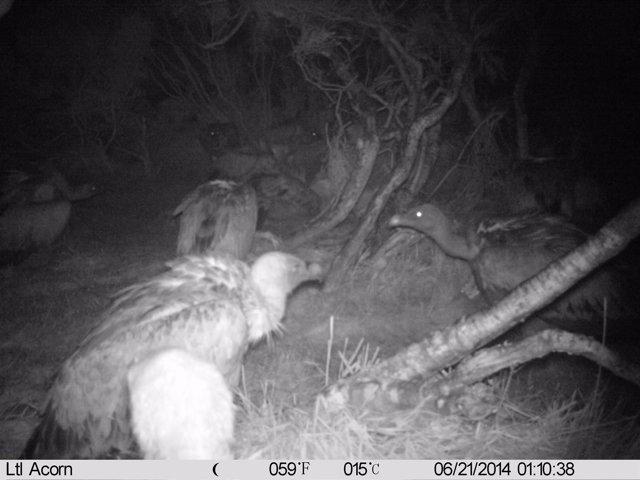 Buitres alimentándose de noche