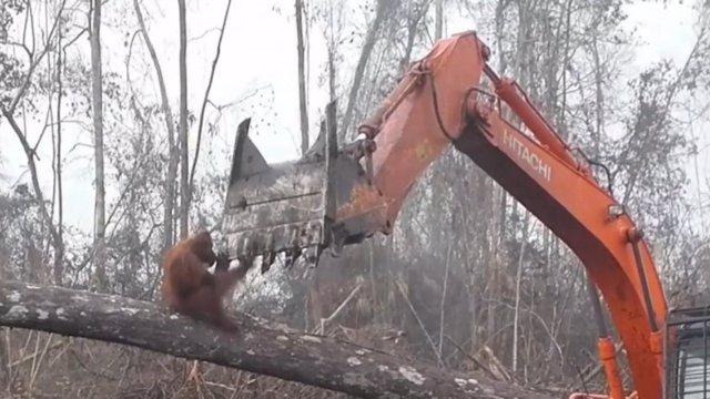 Orangután vs excavadora
