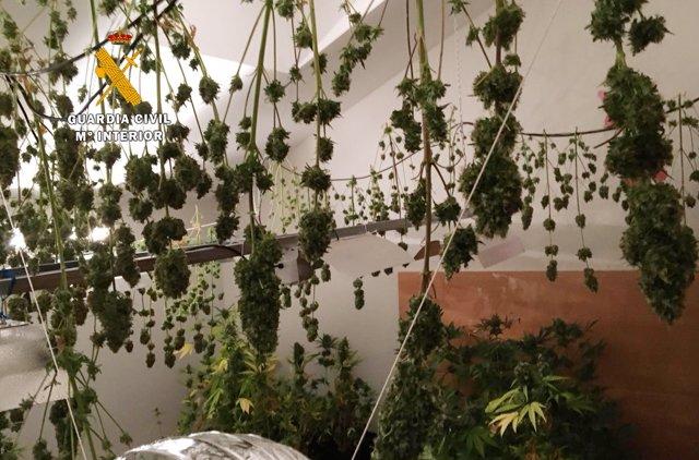 Marihuana San Miguel de Meruelo