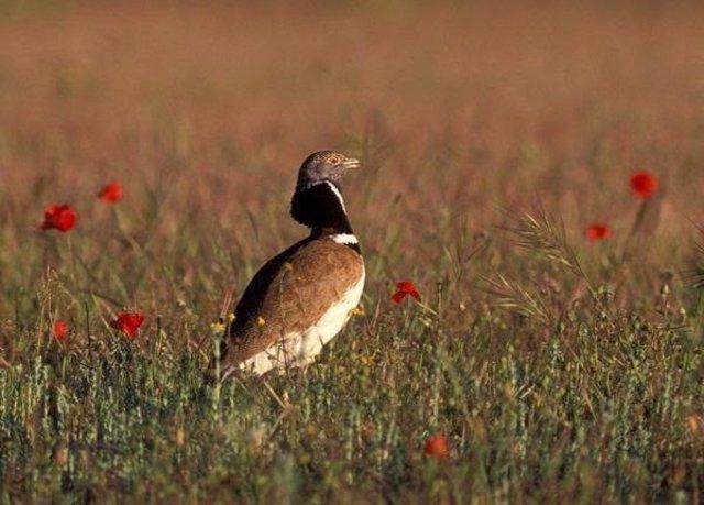 Sisón común macho en una pradera esteparia