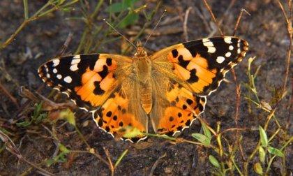 Unas mariposas recorren 12.000 kilómetros anuales cruzando el Sáhara