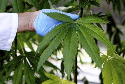 """Solicitan la regulación terapeútica del cannabis en Canarias para acabar con el """"mercado negro"""""""