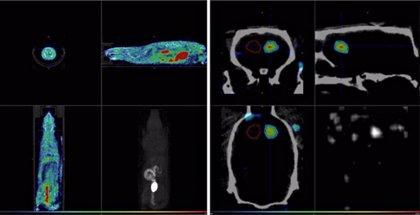 Desarrollan en ratas un modelo con radiofármacos e imágenes PET para estudiar la hemorragia subaracnoidea