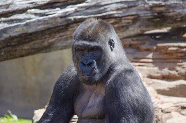 Echo gorila Bioparc Fuengirola