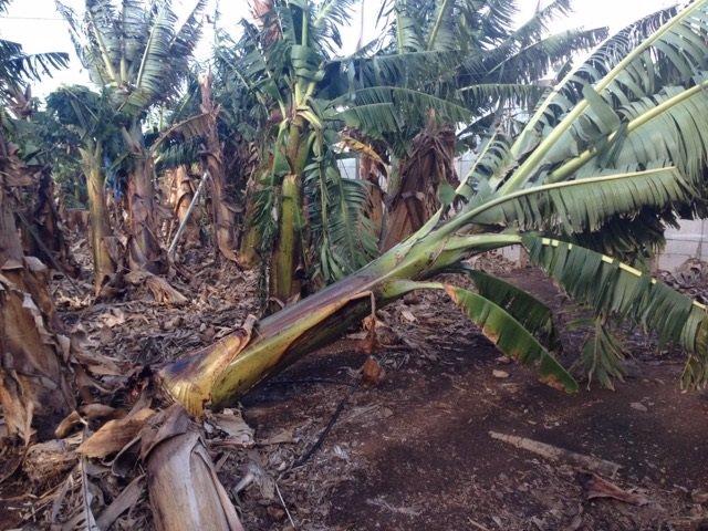 Canarias registra la producción de plátano más baja de la última década por el viento y las bajas temperaturas
