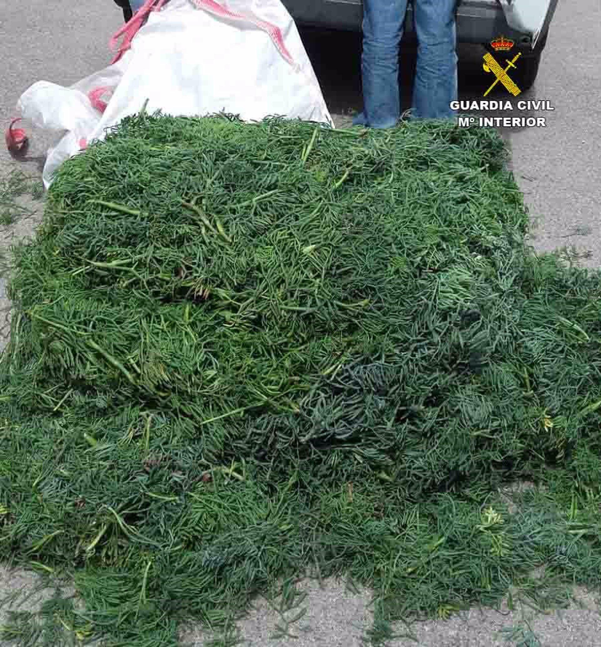 La Guardia Civil sorprende a tres personas con 200 kilos de 'fonoll marí' en Capdepera