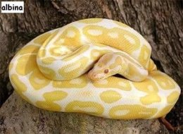 Serpiente albina extraviada