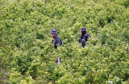 Los cultivos de coca en Colombia aumentaron un 11 por ciento en 2017