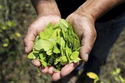 La cifra de terrenos dedicados al cultivo de hoja de coca en Colombia alcanza su nivel más alto de la última década