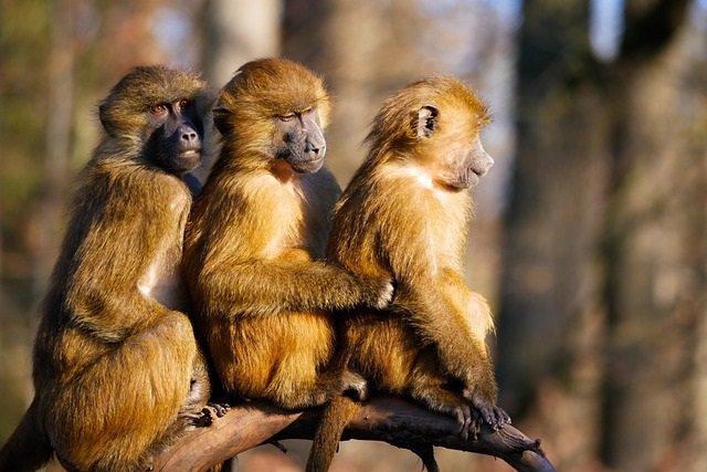 Babuínos, monos
