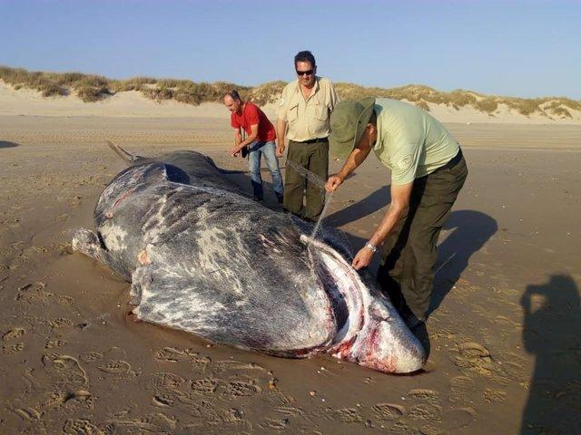 Aparece muerto un tiburón en la playa de Doñana.