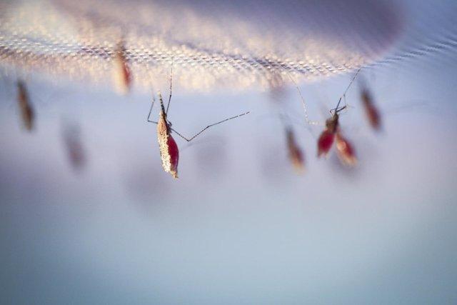 Mosquitos malaria