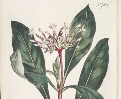 Hallan que una enzima de una planta usada en la medicina china puede mejorar la terapia cardiaca y mental