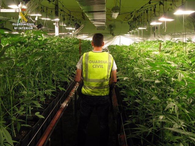 Plantación de marihuana en Carmona