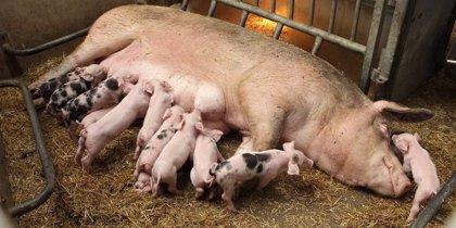 Investigadores demuestran en cerdos que la administración de hormonas modifica el ADN