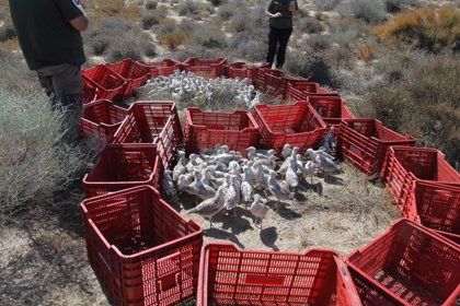 Anillan a 109 pollos de gaviota picofina en el Paraje Natural de Punta Entinas-Sabinar