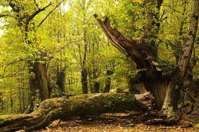 Souto de Santa Eufemia, Folgoso do Courel (Lugo), Premio Bosque Amenazado 2010