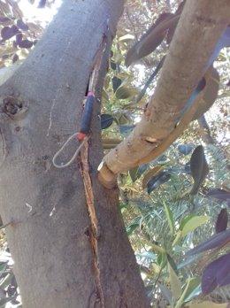 Imagen de la raja detectada en el ficus