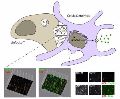 El ADN mitocondrial es responsable de la respuesta antiviral