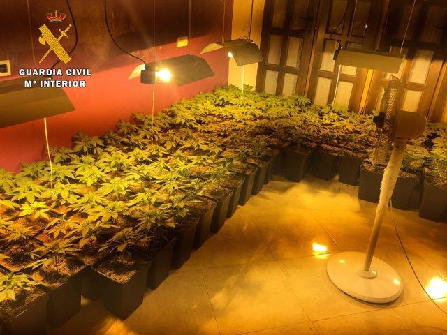 Plantas intervenidas por la Guardia Civil