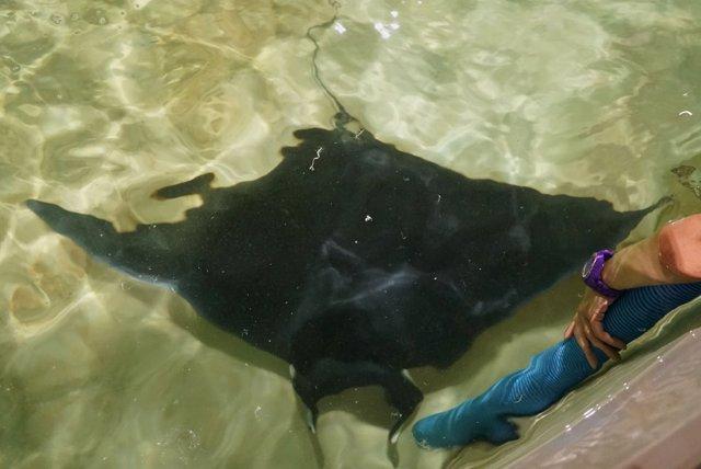 Raya manta avistada en La Malvarrosa y trasladada al Oceanogràfic