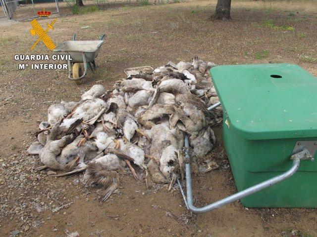 Ocas muertas en la granja de Fuente Obejuna