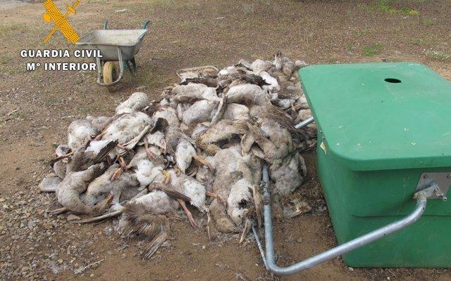 Pacma exige responsabilidades a la Junta por la muerte de 140 ocas en una granja de Fuente Obejuna