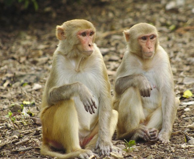 Macaco, mono rhesus
