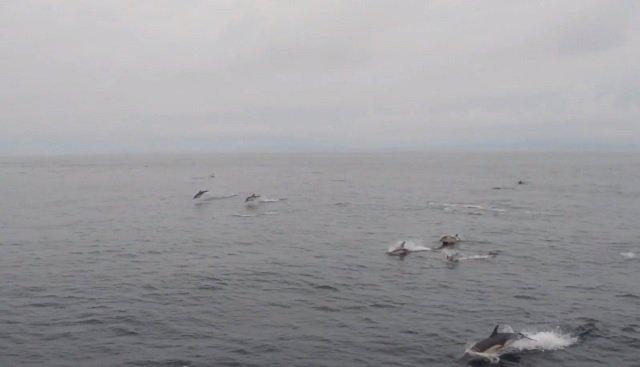BDRI avista una manada de delfines en Galicia
