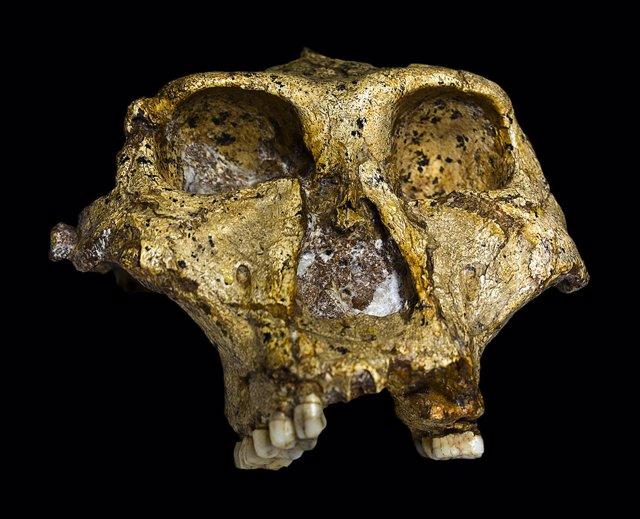 Cráneo de Paranthropus robustus datado en 1,8 millones de años