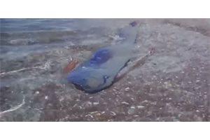Pescan una extraña criatura marina de cinco metros en las costas de Chile