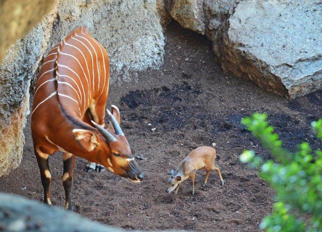 Nace la segunda cría de un Duiker rojo en Bioparc