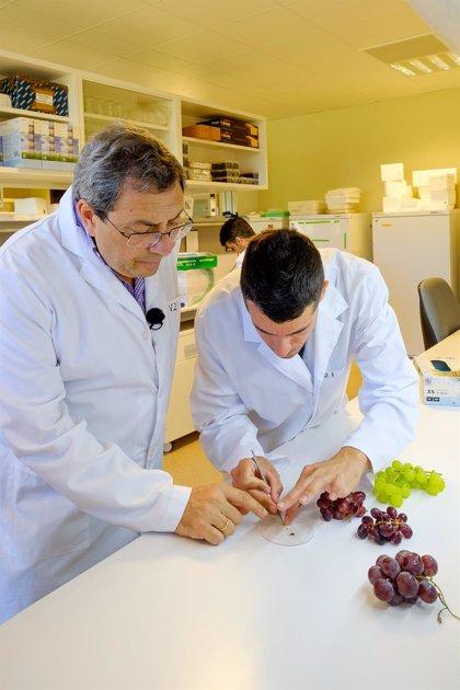 Investigadores del ICVV identifican la mutación que dio lugar a uva de mesa sin semillas
