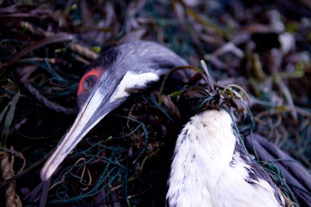 Cormorán muerto atrapado en una red de pesca