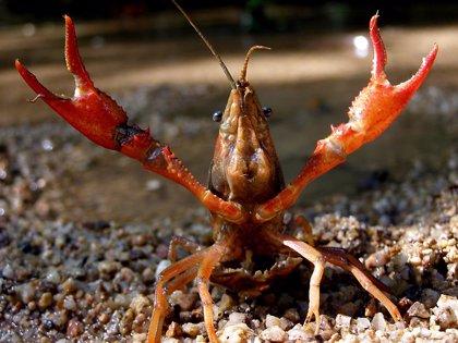 Ribera, en contra del cambio en la Ley de Biodiversidad que permite pescar trucha arcoiris o cangrejo rojo