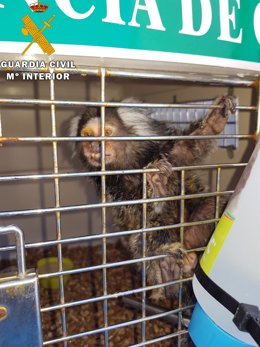 Mono 'tití' recuperado por la Guardia Civil