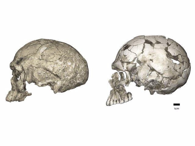 Cambios evolutivos en la forma del cráneo