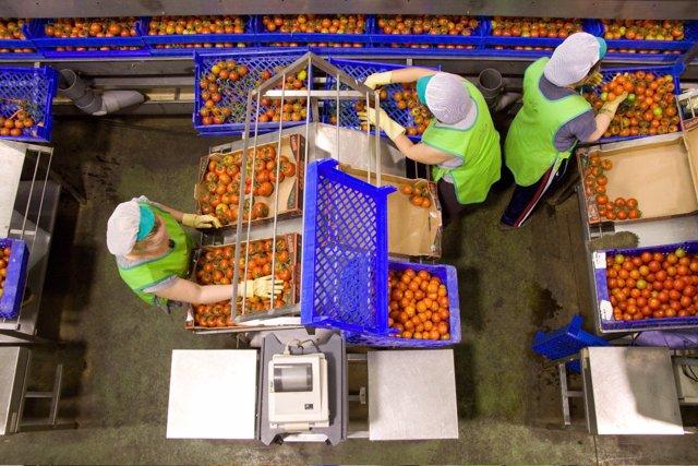 Trabajadoras del sector del manipulado envasan tomate