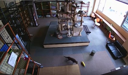 La cámara de vigilancia de un establecimiento captó la reacción de unos gatos segundos antes de un terremoto en Japón