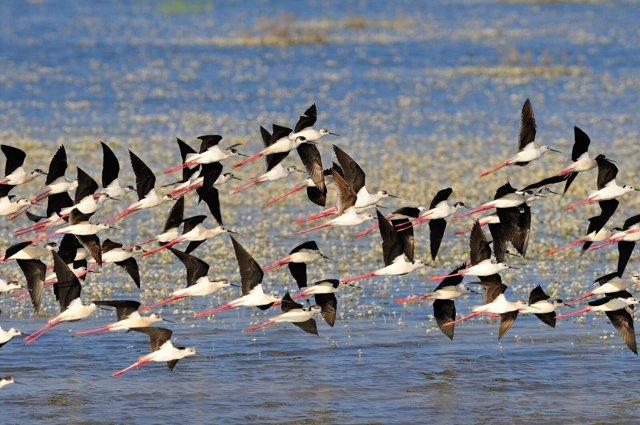 Aves volando en el humedal de Doñana