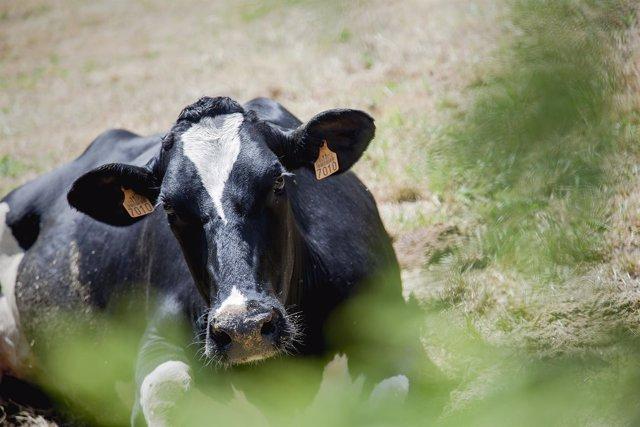 Recurso vaca, ganadería