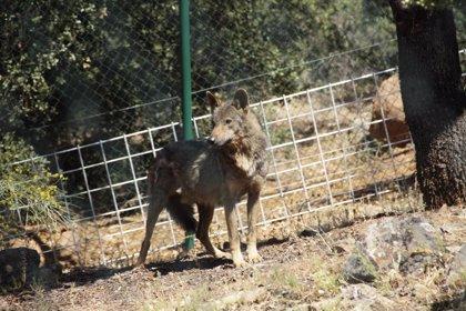 El TSJCyL mantiene cautelarmente la paralización de la caza del lobo