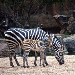 Naix la primera zebra de l'any en Bioparc