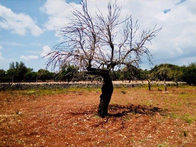 Almendro, Xylella, bacteria, recurso, campo, Mallorca, Agricultura, árbol