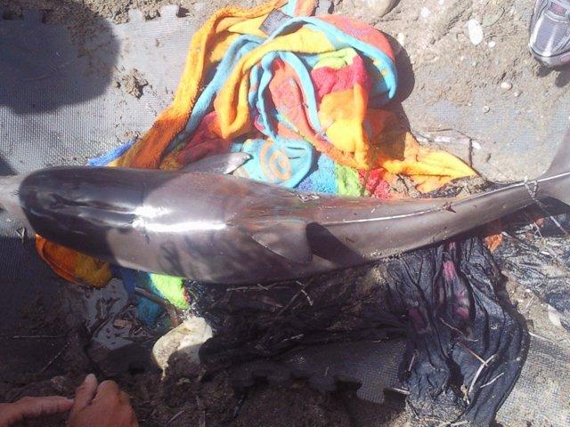 Delfín Listado Varado