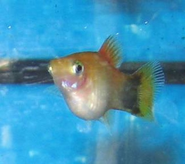 9 - Xiphophorus maculatus