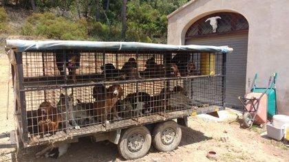 Una fundación animalista colabora con Mossos en el rescate de 39 perros abandonados en una finca del Vallès
